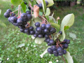 sadnice-sibirske-aronije-starosti-5-6godina-small-0
