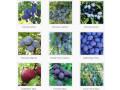 sadnice-voca-za-jesenju-sadnju-rezervacije-u-toku-small-2