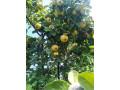 sadnice-voca-za-jesenju-sadnju-rezervacije-u-toku-small-0