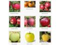 sadnice-voca-za-jesenju-sadnju-rezervacije-u-toku-small-1