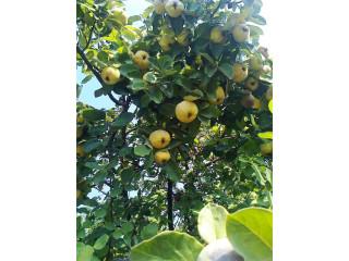 Sadnice voća za jesenju sadnju - Rezervacije u toku!