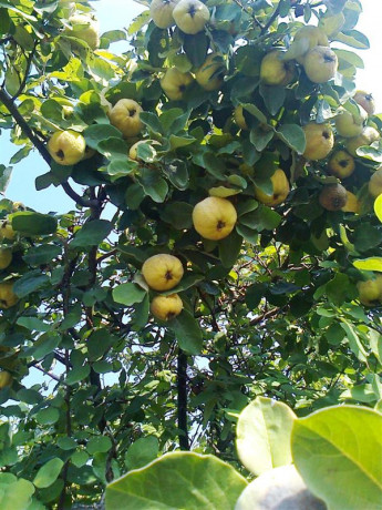 sadnice-voca-za-jesenju-sadnju-rezervacije-u-toku-big-0