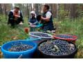 maticni-sok-od-divlje-borovnice-100-voce-small-3