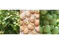 sadnice-kalemljenog-oraha-dvogodisnje-sadnice-small-1