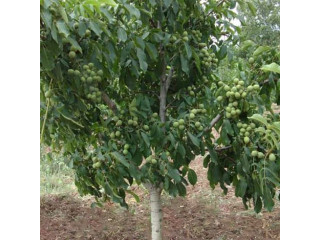 Sadnice kalemljenog oraha, dvogodisnje sadniceee