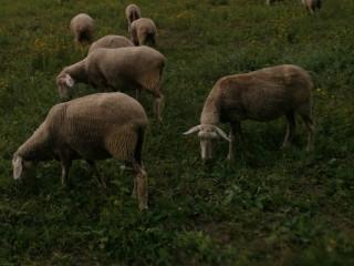 Ovce,stado,vinterberg