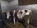 jalova-krava-small-0