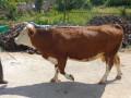prodajem-kravu-small-0