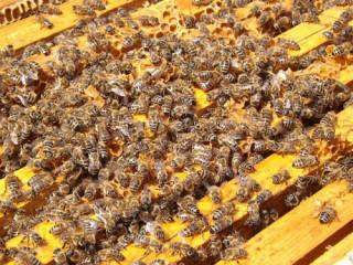 Rojevi pčela i društva