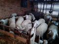 prodajem-ovce-small-1