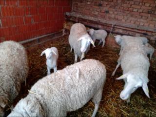 Продајем овце