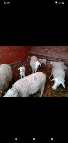 prodajem-ovce-big-0