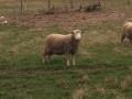 prodajem-ovce-small-2