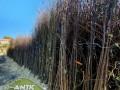 sadnice-lesnika-sljive-tresnje-i-visnje-po-ceni-od-120din-small-1