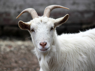 Jarići i koze