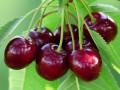 maticni-sok-od-visnje-prirodni-antioksidant-100-voce-small-2