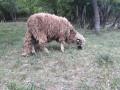hitno-prodajem-umaticene-ovce-svrljiska-rasa-small-2
