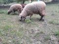 hitno-prodajem-umaticene-ovce-svrljiska-rasa-small-0