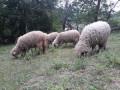 hitno-prodajem-umaticene-ovce-svrljiska-rasa-small-3