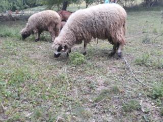 Hitno prodajem umaticene ovce svrljiska rasa