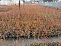 sadnice-borovnice-sertifikovane-small-0