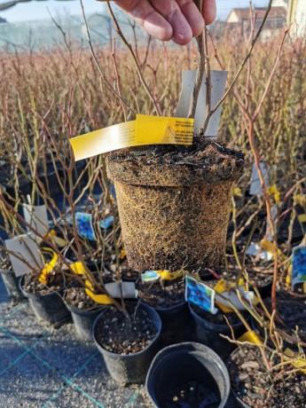 sadnice-borovnice-sertifikovane-big-2