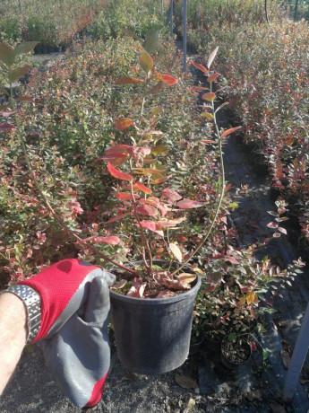 sadnice-borovnice-sertifikovane-big-1