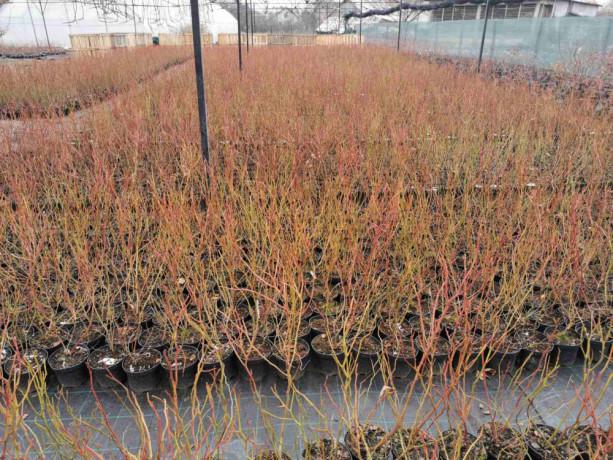 sadnice-borovnice-sertifikovane-big-0