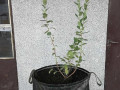 vrece-od-agrotekstila-za-sadnju-borovnice-small-2