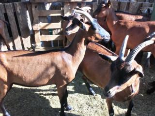 Umaticene koze