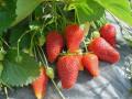 prodajem-sadnice-jagode-sorte-roksana-i-zenga-small-1