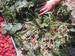Prodajem sadnice jagode sorte ROKSANA i ZENGA
