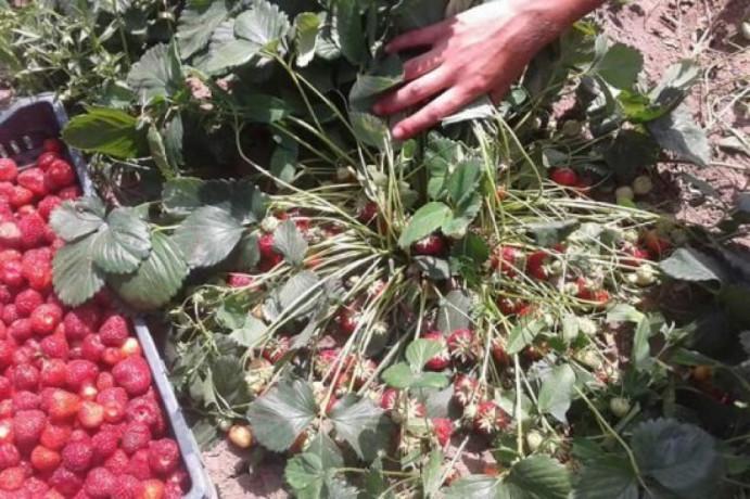 prodajem-sadnice-jagode-sorte-roksana-i-zenga-big-0