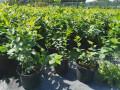 sadnice-borovnice-sertifikovane-dvogodisnje-i-trogodisnje-small-1