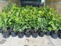 sadnice-borovnice-sertifikovane-dvogodisnje-i-trogodisnje-small-2