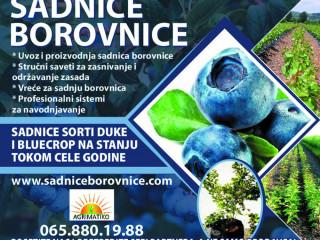 Sadnice borovnice - sertifikovane, dvogodisnje i trogodisnje