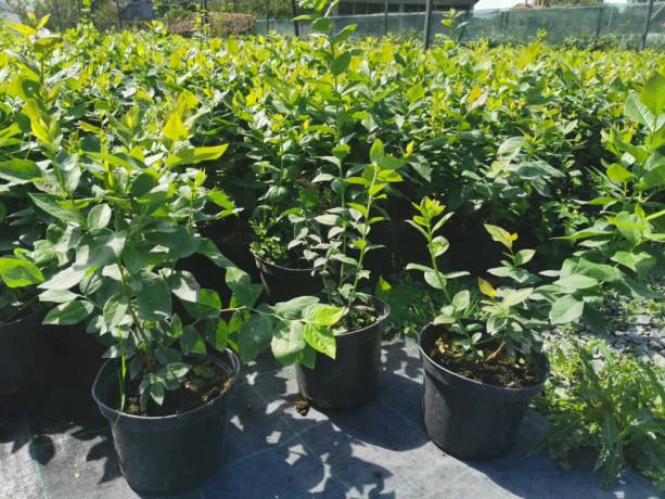 sadnice-borovnice-sertifikovane-dvogodisnje-i-trogodisnje-big-1