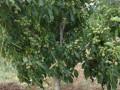 sadnice-kalemljenog-oraha-small-0