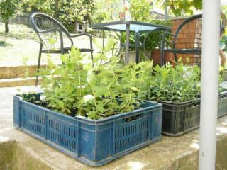 Kamcatska borovnica / sadnice