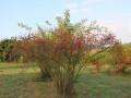 pitomi-sipurak-sadnice-small-0