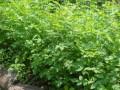 pitomi-sipurak-sadnice-small-4