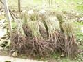 pitomi-sipurak-sadnice-small-3