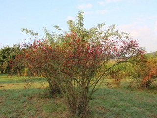 Pitomi sipurak / sadnice