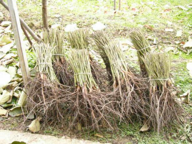 pitomi-sipurak-sadnice-big-3
