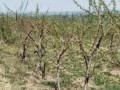 vocnjak-i-vinograd-u-banostoru-fruska-gora-small-0