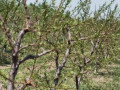 vocnjak-i-vinograd-u-banostoru-fruska-gora-small-3