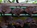 ganoderma-lucidum-reishi-gljiva-hrastova-sjajnica-small-1