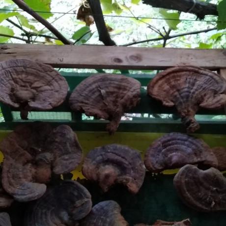 ganoderma-lucidum-reishi-gljiva-hrastova-sjajnica-big-1