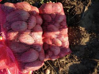 Prodaja krompira na veliko