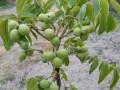 sadnice-kalemljenog-oraha-dvogodisnje-sadnice-small-2